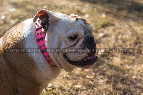 Girl British Bulldog Collar Highly Decorated Bright Pink Leather