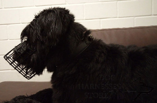 Giant Schnauzer Muzzle Covered with Black Rubber for Winter