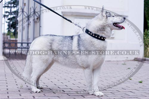 Husky Dog Collar Leather with Nickel Cones for Walking