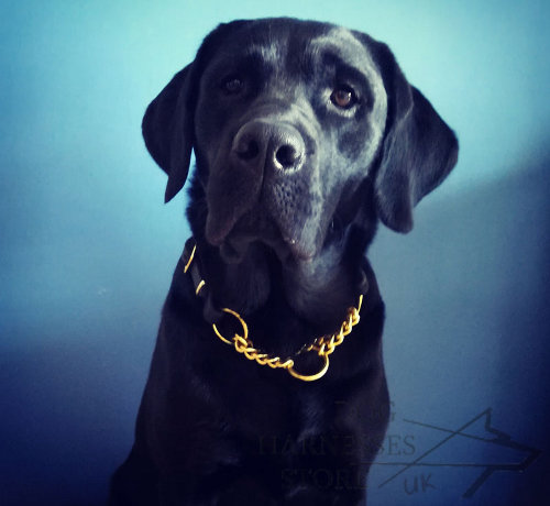 Labrador Collar Martingale Leather with Brass Chain for Control