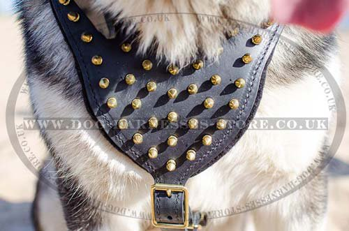 Leather Dog Harness with Brass Spikes for Alaskan Malamute