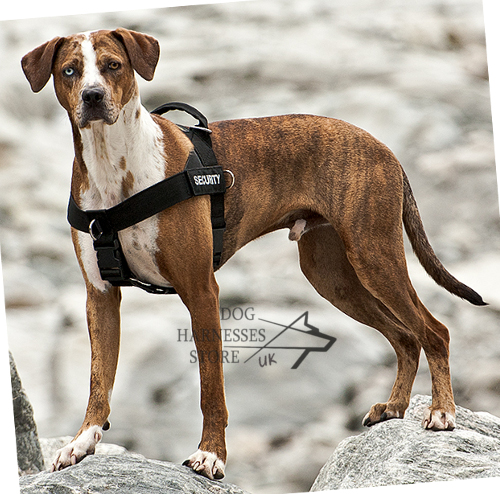 Dog Harness UK, Louisiana Catahoula Leopard Dog!