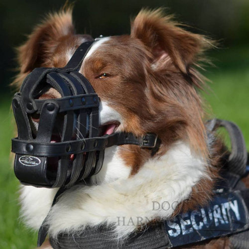 Muzzle for Australian Shepherd of Leather for Everyday Usage