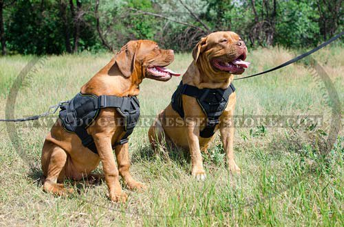 Dogue de Bordeaux Harness UK
