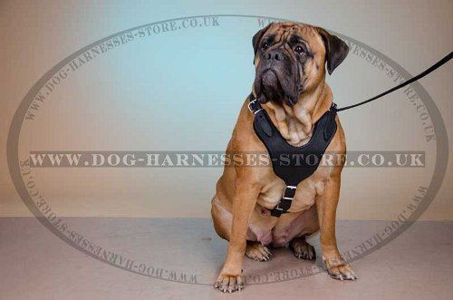 Bullmastiff Padded Leather Harness UK