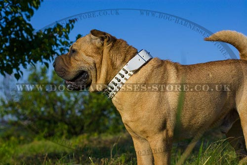 Shar-Pei Collar of White Leather with Spikes and Studs for Walks