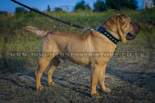 Shar-Pei Dog Collar of Leather with Row of Nickel Cones for Walk
