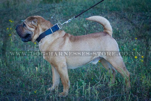 Shar-Pei Dog Collar of Wide and Strong Leather in Classic Style