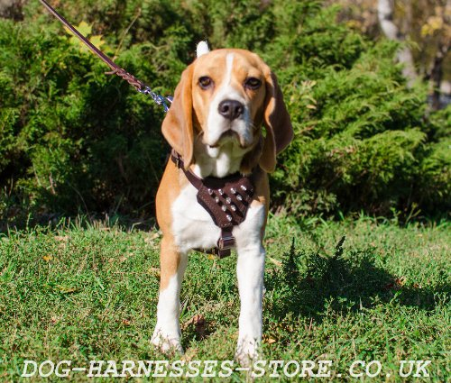 Fashion and Comfort in One Leather Beagle Harness Spikes