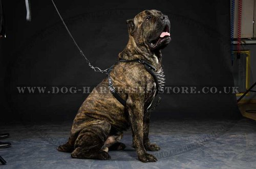 Spiked Leather Harness for Cane Corso for Walking UK