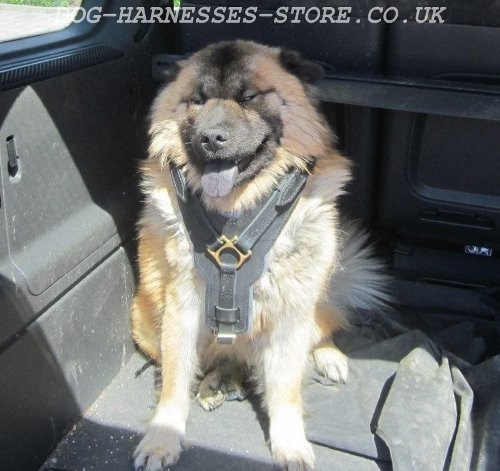 Eurasier Dog Harness, Luxury Padded Leather Chest Plate