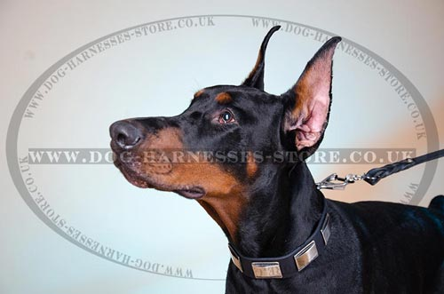 "Unique Dog Collar of 1.5"" Leather with Large Nickel Plates"
