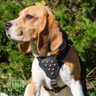 Classy Leather Beagle Harness with Studs on the Breast Plate