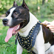 Luxury Dog Harness for Staffy Walks in Style, Leather & Studs
