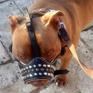 Muzzle for Amstaff of Leather and Nappa with Studs and Frustums