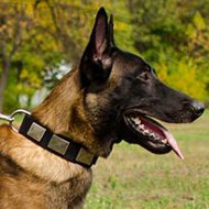 Strong Nylon Dog Collar with Plates for Belgian Malinois
