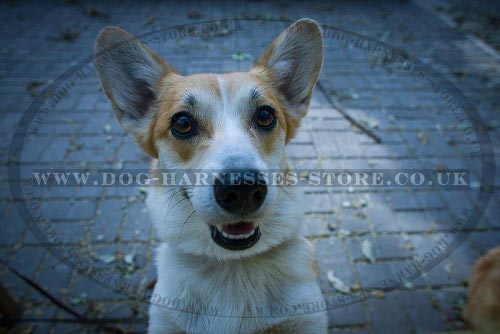 Pembroke Welsh Corgi Supplies