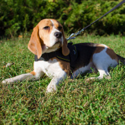 Multifunctional Beagle Harness of Durable Nylon with Handle