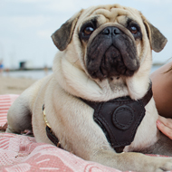 Padded Dog Harness UK for Pug, UK