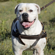 Pulling Harness for American Bulldog. Padded Leather Strap