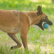 German Shepherd and Belgian Malinois Dental Ball UK