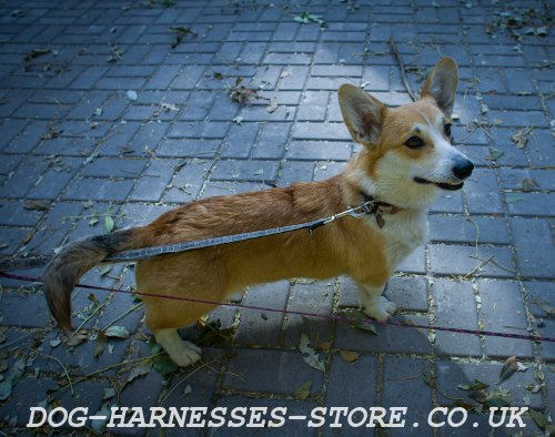 Welsh Corgi Harnesses and Collars UK