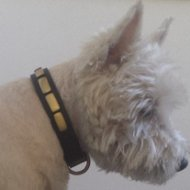 West Highland Terrier Collar of Narrow Leather with Brass Plates