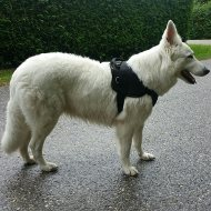 White Swiss Shepherd Harness of Durable Nylon with Handle